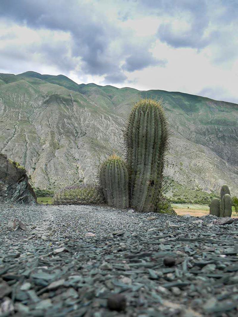 Gymnocalycium saglionis. © Sebastian Santecchia Tilcara, Jujuy, Argentine.