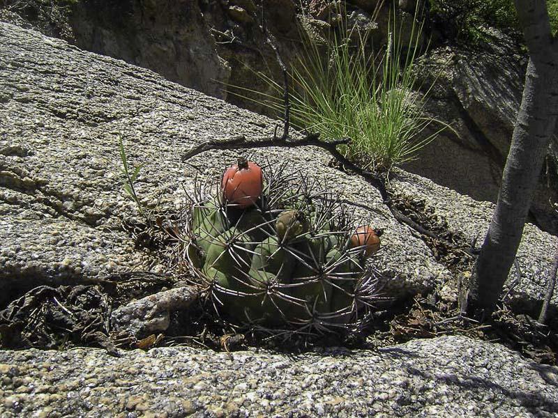 Gymnocalycium saglionis. © Sebastian Santecchia. Rio Colorado, Cafayate, Salta, Argentine