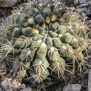 Gymnocalycium sutterianum ssp arachnispinum SC 062