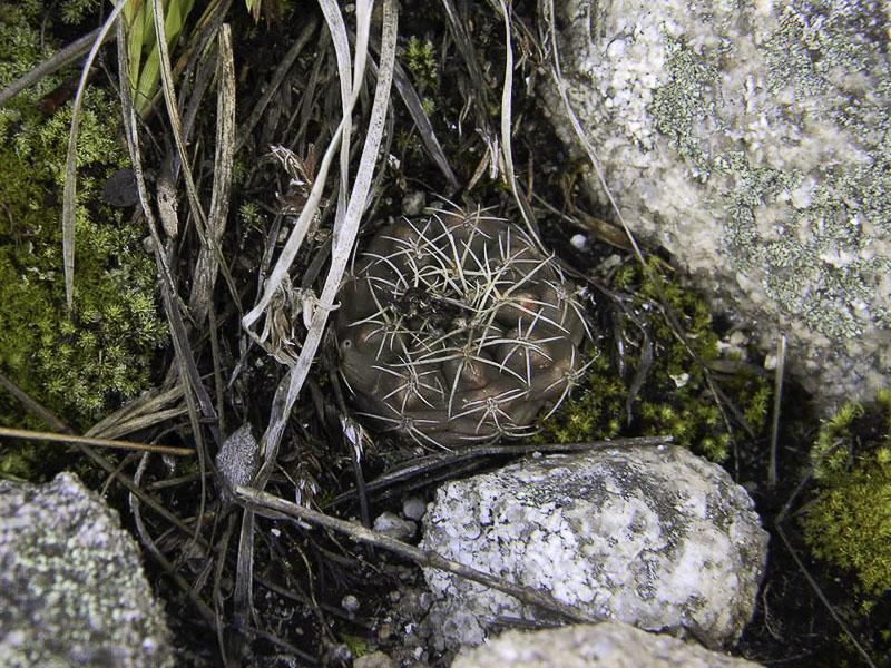 Gymnocalycium sp. © Sebastian Santecchia. Cerro Champaqui, Cordoba, Argentine