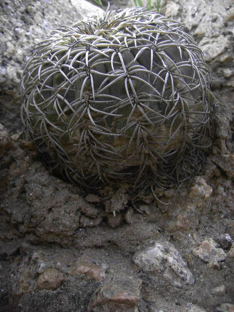 Gymnocalycium spegazzinii v. punillense. © Sebastian Santecchia. La Punilla, Cafayate, Salta, Argentine.
