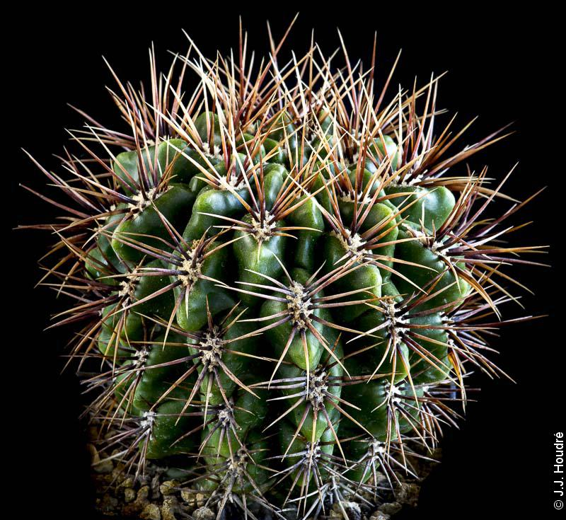 Gymnocalycium horridispunum ssp achirasense (v. chacrasense LB 352)