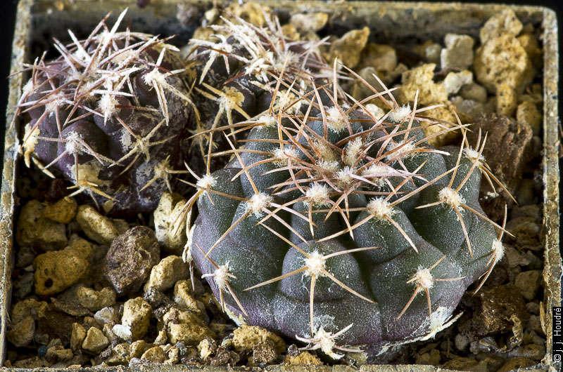 Gymnocalycium albiareolatum GN 96-903/2971