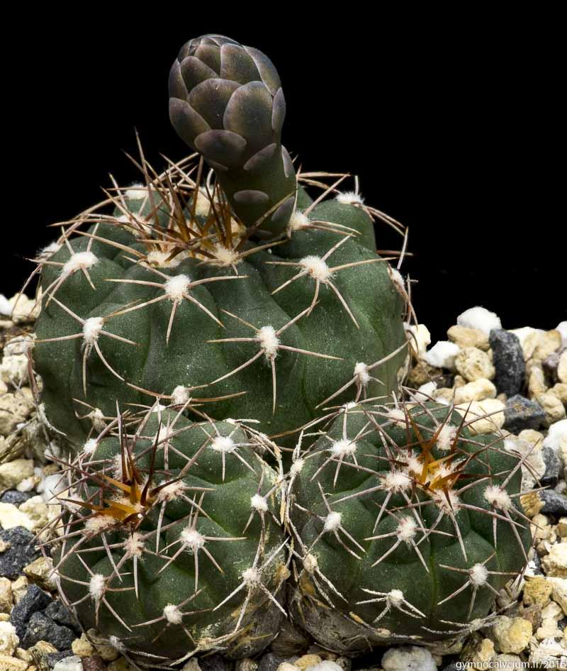 Gymnocalycium albiareolatum GN 96-903/2971. Mêmes sujets à 5 ans.