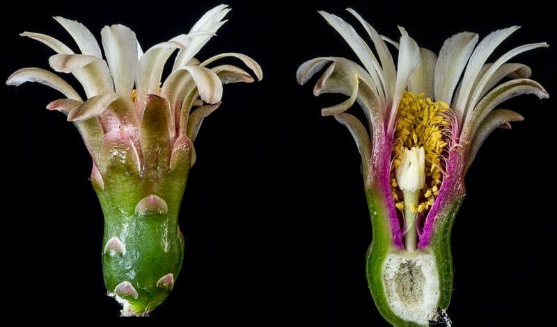 Coupe longitudinale d'une fleur.