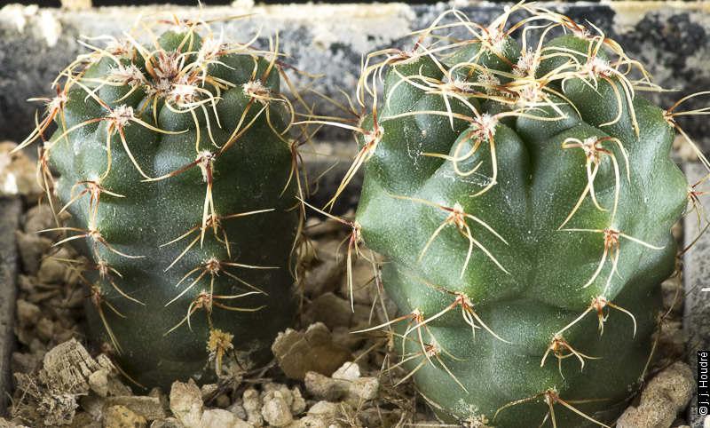 Gymnocalycium amerhauserii v. paucisquamosum LB 3344, Museo Faber, Cordoba, 1015 m, Argentine Sujets de 18 mois issus de semis de graines L. Bercht réf. : 2013/2871.