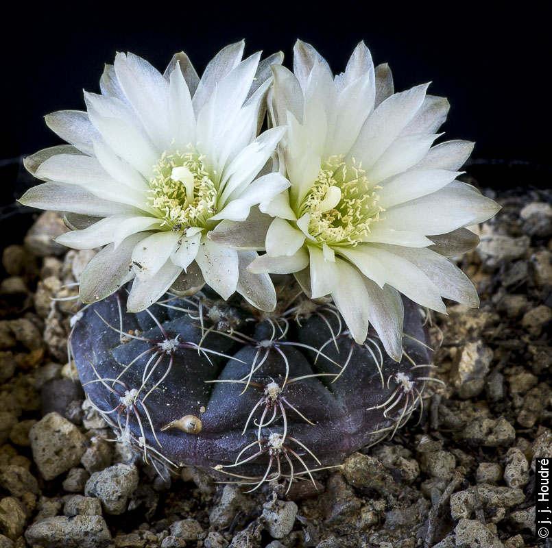 Gymnocalycium amerhauseri ssp. altagraciense STO 0223