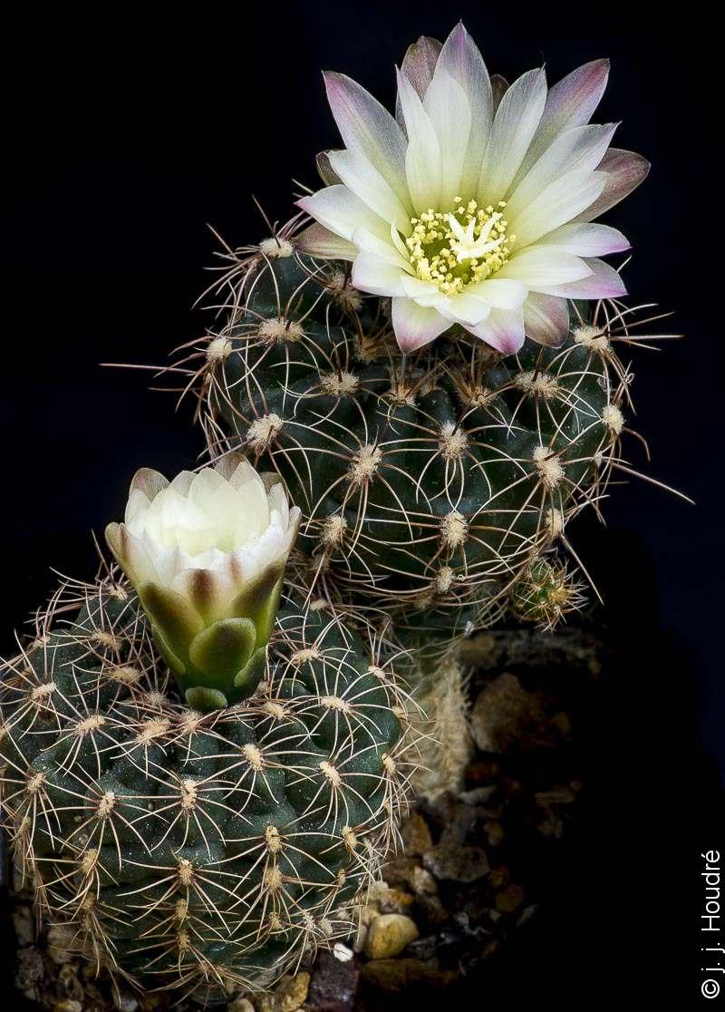 Gymnocalycium andreae ssp matznetteri WR 567a recombiné en Gymnocalycium bruchii ssp matznetteri. Même sujet<br /> Même sujet