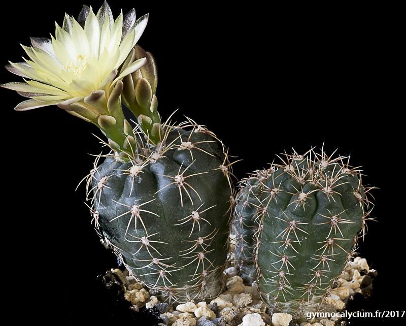 Gymnocalycium andreae ssp pabloi GN 99-1051/3728