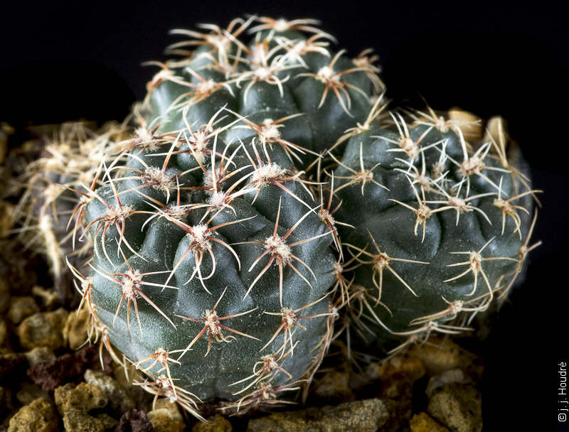 Gymnocalycium andreae ssp pabloi CH 1151.