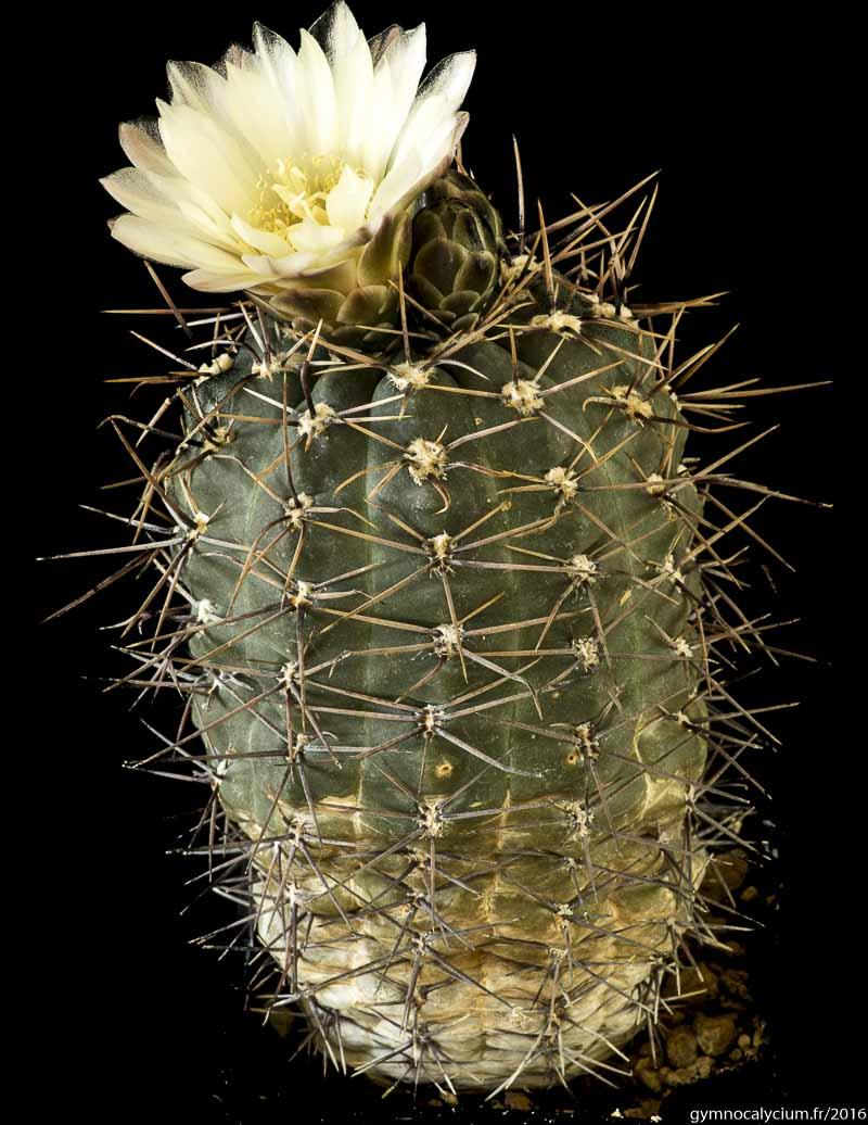 Gymnocalycium andreae v. svecianum (plus vraisemblablement Gymnocalycium gibbosum)