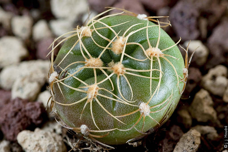 Gymnocalycium angelae. Semis de Jan Paul Betlem.