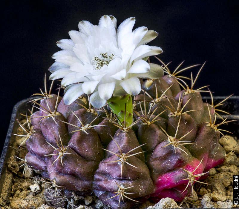 G. anisitsii ssp anisitsii LB 3025