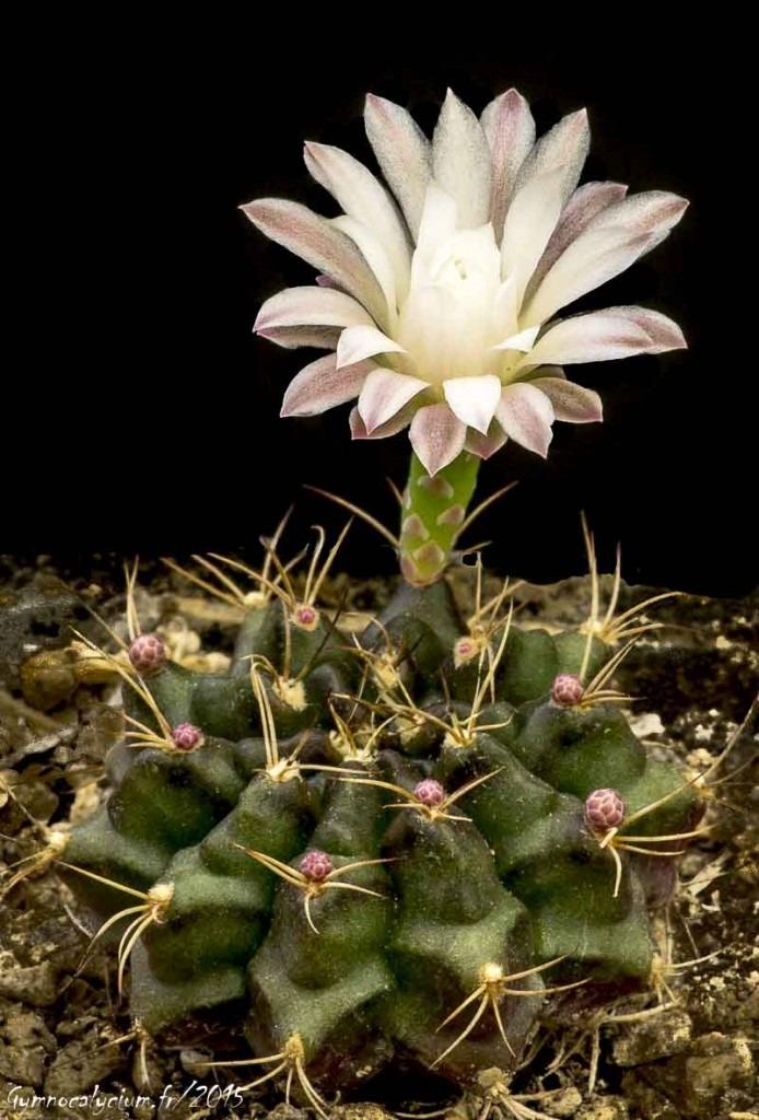 Gymnocalycium anisitsii ssp damsii GH 95-254-436