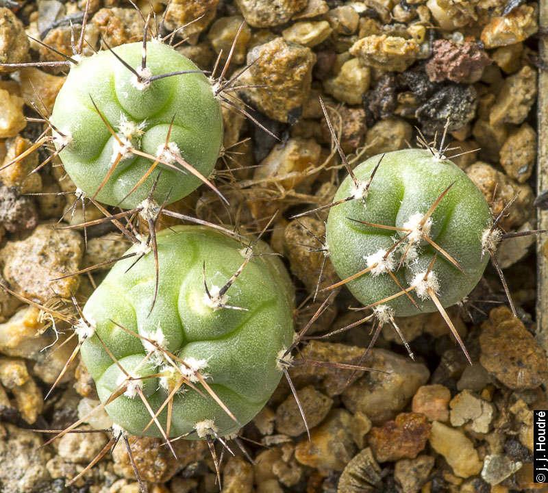 Gymnocalycium armatum JO 974. Paichu Centro, Tarija, Bolivia 2616m. Sujets de 18 mois issus de semis de graines L. Berchet réf. : 2012/1892