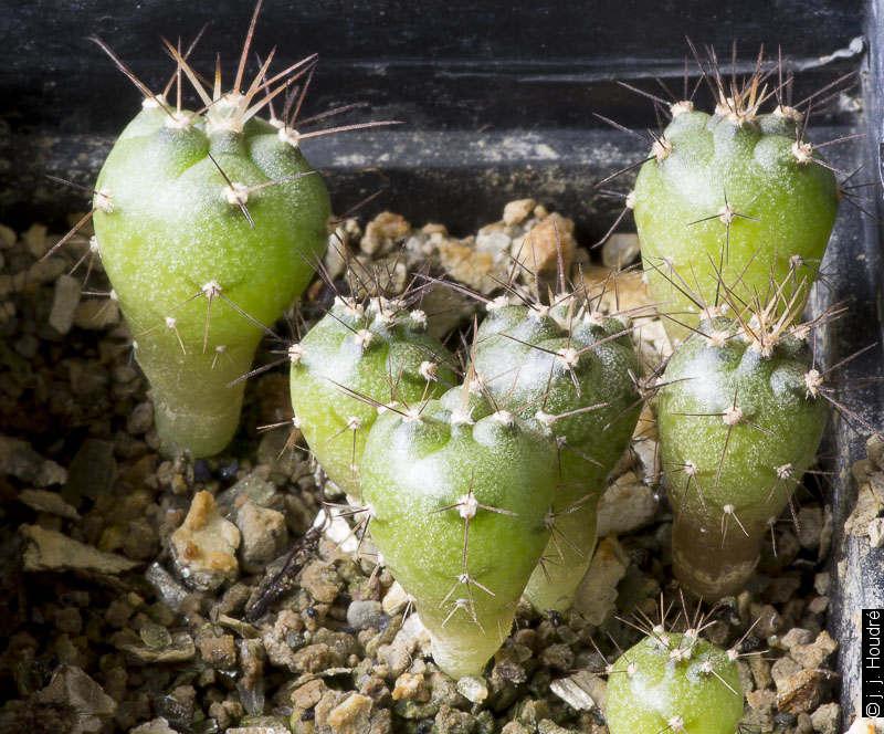 Gymnocalycium armatum VS 597. Paichu Centro, Tarija, Bolivia. Sujets d'un an issus de graines L. Bercht réf. : 2012/1894