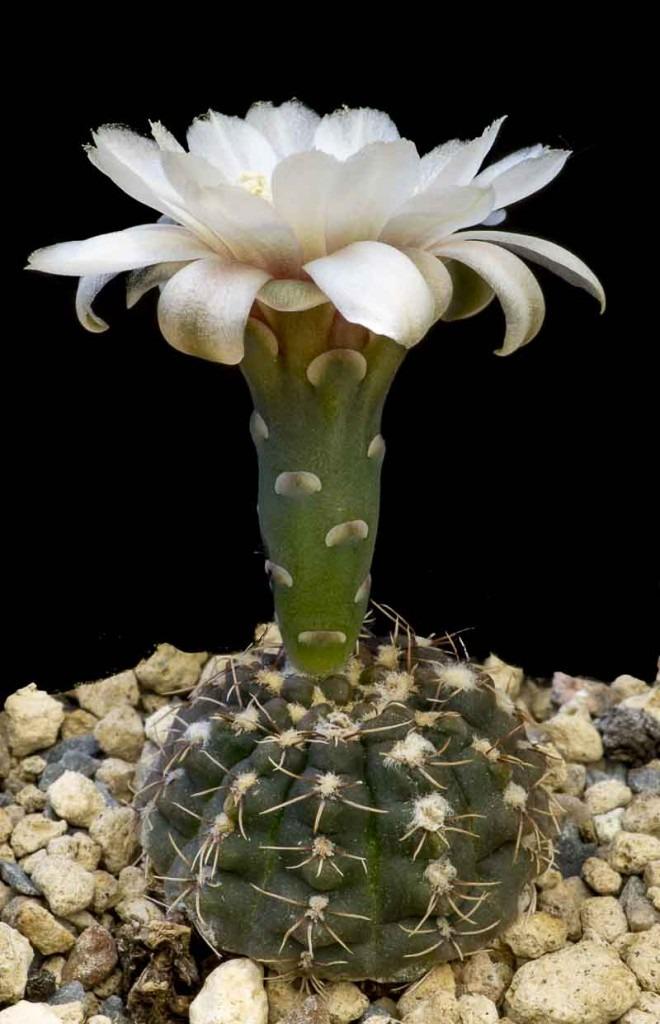 Gymnocalycium kieslingii (baldianum v albiflorum JPR 177-542)