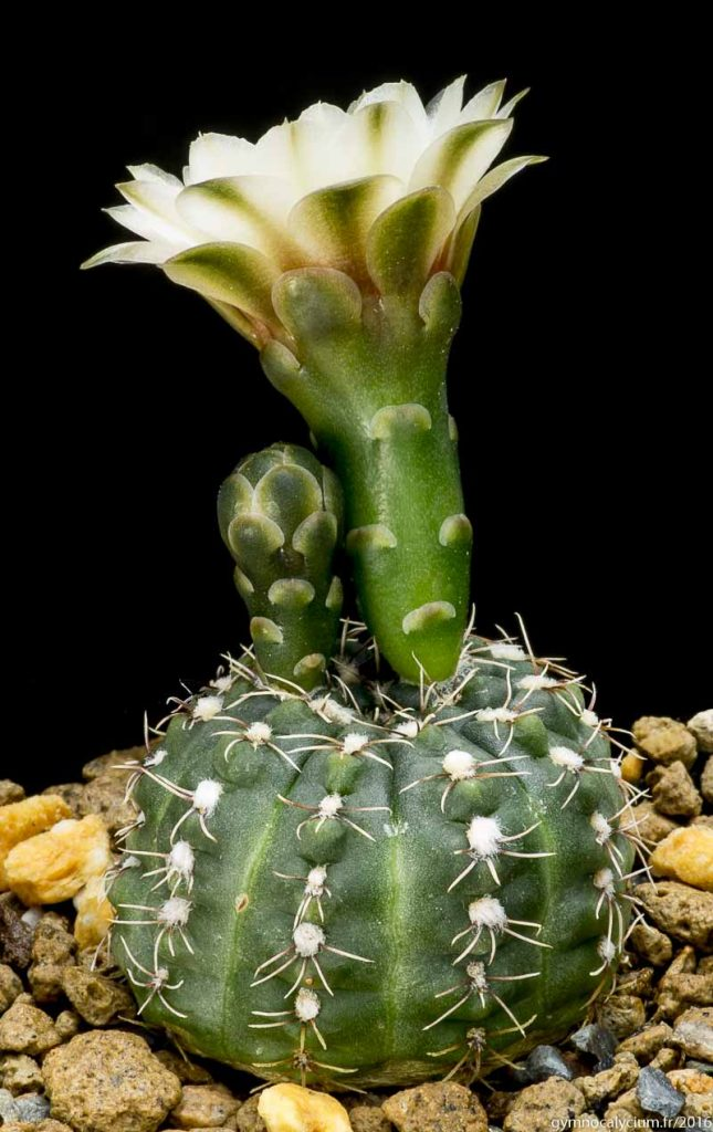 Gymnocalycium kieslingii (baldianum v. albiflorum JPR 177-542). Même sujet à 9 ans.