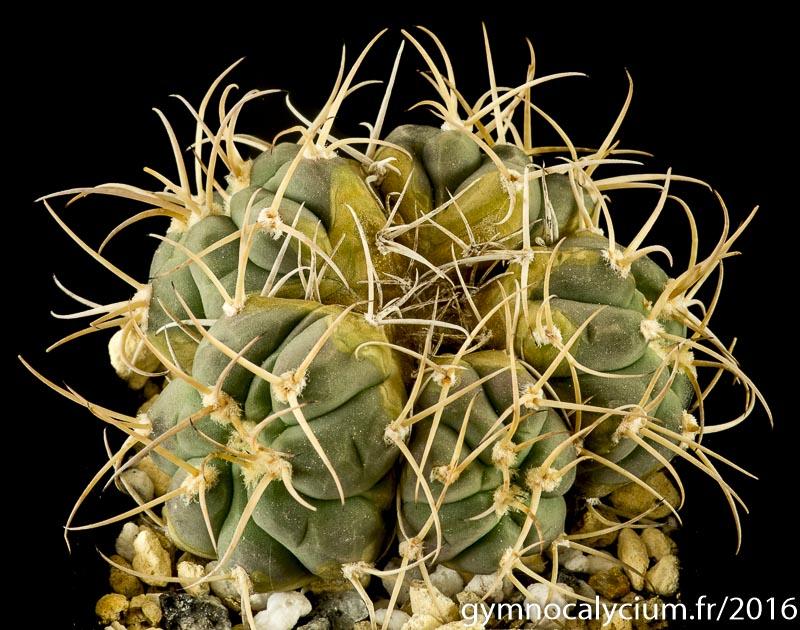Gymnocalycium bayrianum P 399