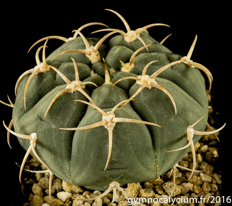 Gymnocalycium bayrianum Vos 10-816