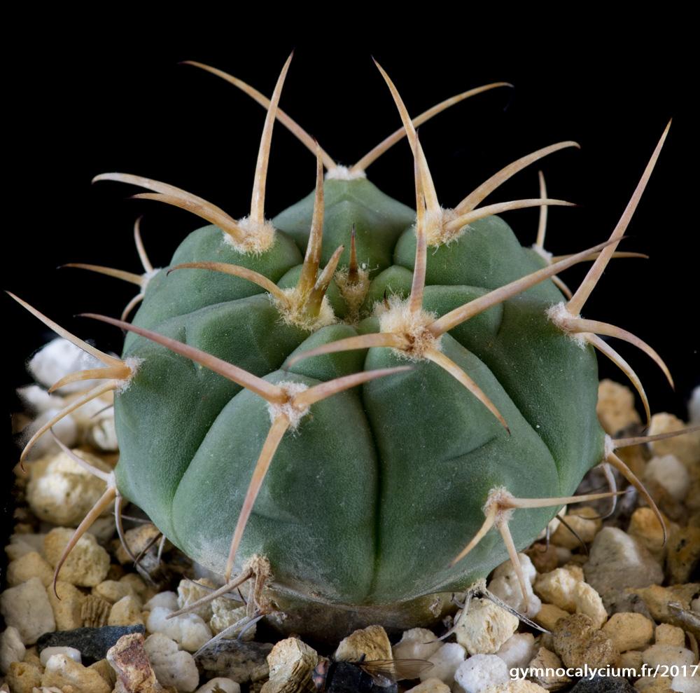 Gymnocalycium bayrianum ssp brevispinum XVJ 49. Mêmes sujets.