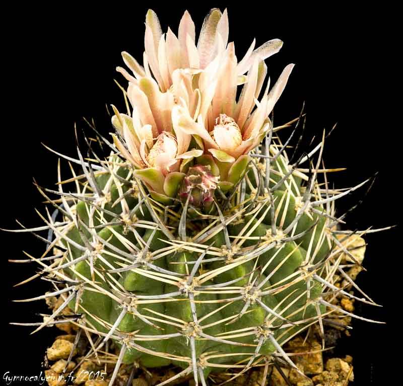 Gymnocalycium mostii ssp valnicekianum (bicolor L 488)
