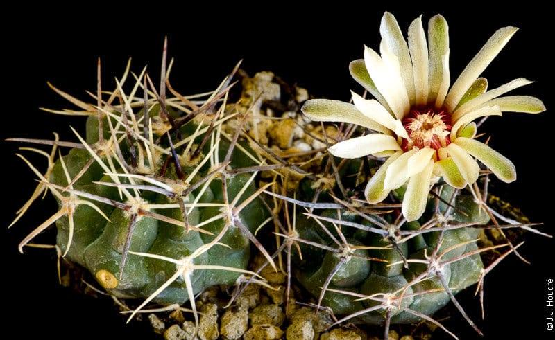 Gymnocalycium bicolor v. simplex Tom 264a.1
