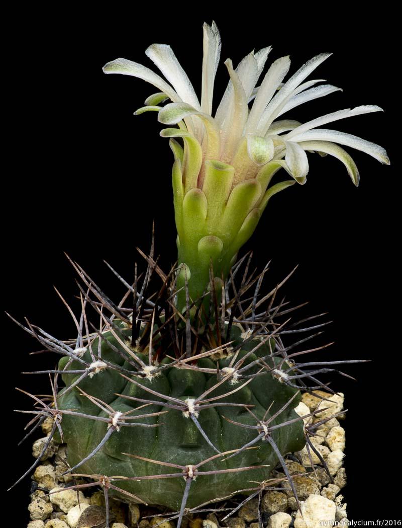 Gymnocalycium bicolor v. simplex TOM 264a.1. Même sujet à 8 ans.