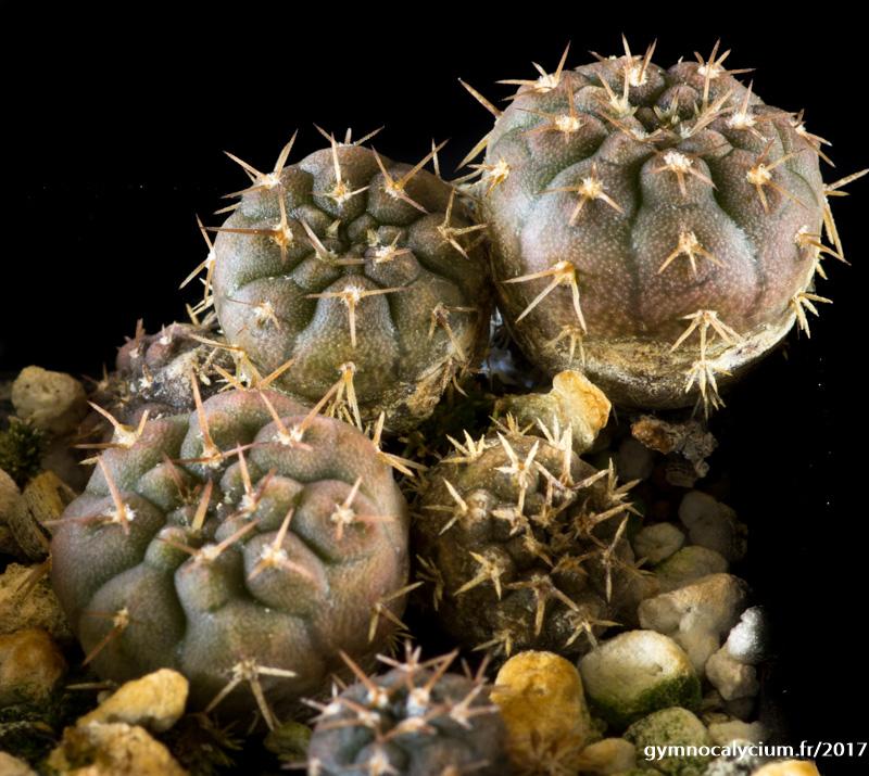 Gymnocalycium bodenbenderianum ssp vertongenii HV 1438