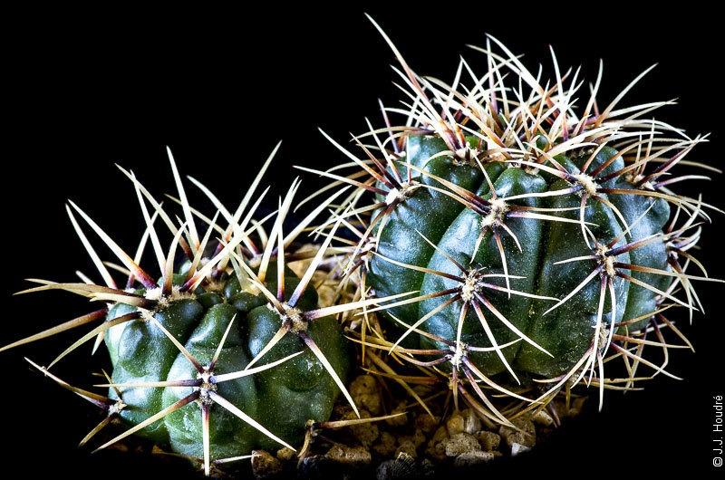 Gymnocalycium brachyanthum GN 77/1184