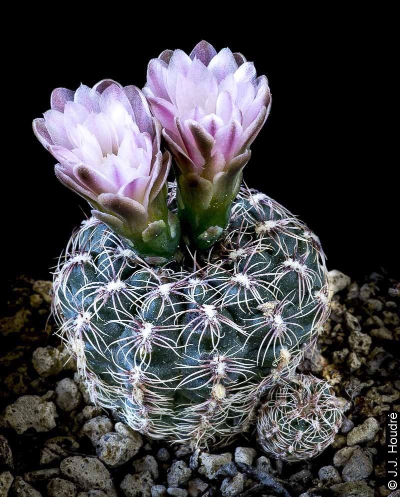 Gymnocalycium bruchii P 506