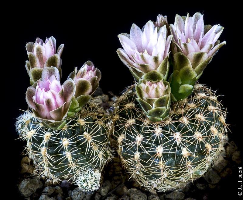 Gymnocalycium bruchii ssp lafaldense LB 1072