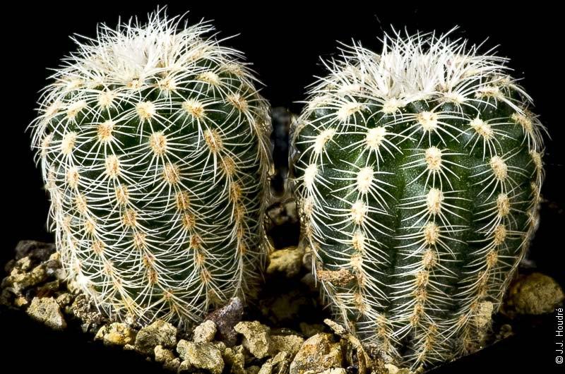 Gymnocalycium bruchii ssp bruchii ssp pawlolwskyi GN 96-751/3143