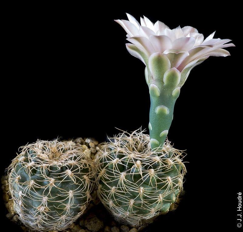 Gymnocalycium quehlianum LB 1357