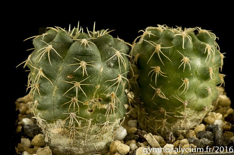 Gymnocalycium capillaense Vos 868.