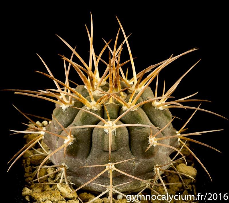 Gymnocalycium capillaense v. mucidum P 36