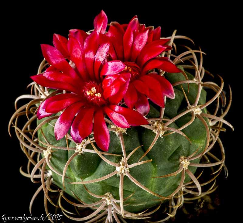 Gymnocalycium oenanthemum (carminanthum v. montanum SL 35a)