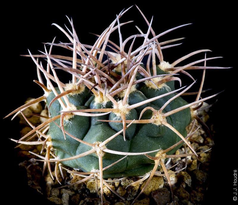 Gymnocalycium castellanosii P 393.