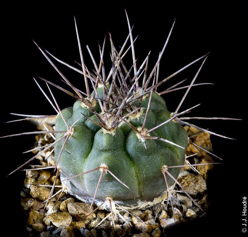 Gymnocalycium castellanosii v. armillatum P 217