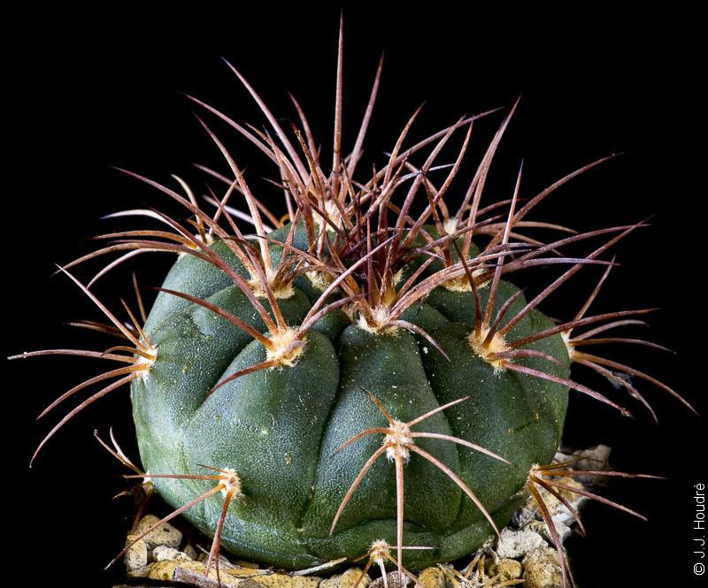 Gymnocalycium castellanosii v. armillatum LF 13