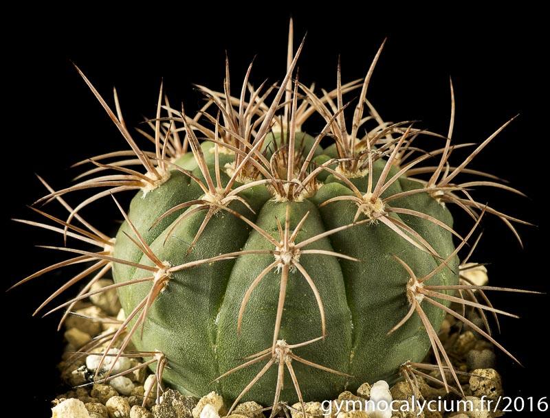 Gymnocalycium castellanosii v. armillatum P 217.