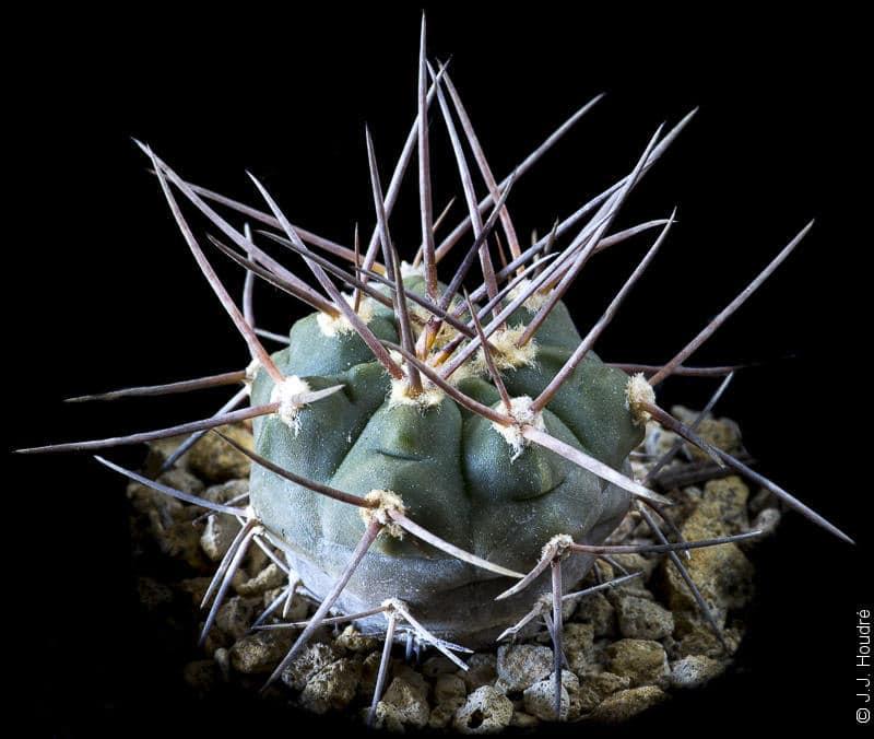Gymnocalycium bozsingianum LB 399