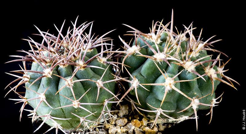 Gymnocalycium castellanossi ssp ferocius VoS 10-858