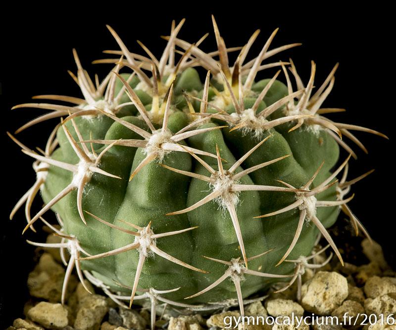 Gymnocalycium castellanosii ssp ferox Vos 10-858