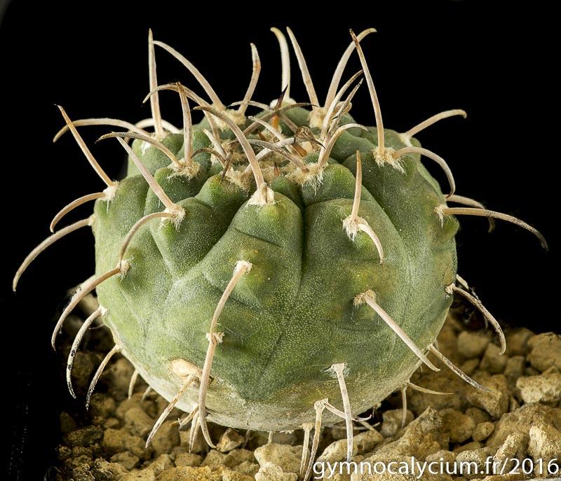 Gymnocalycium catamarcense P 72.