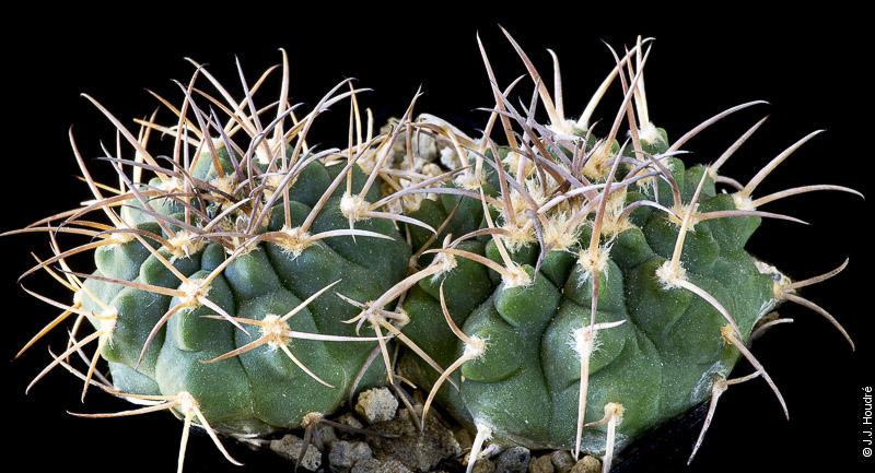 Gymnocalycium catamarcense P 72