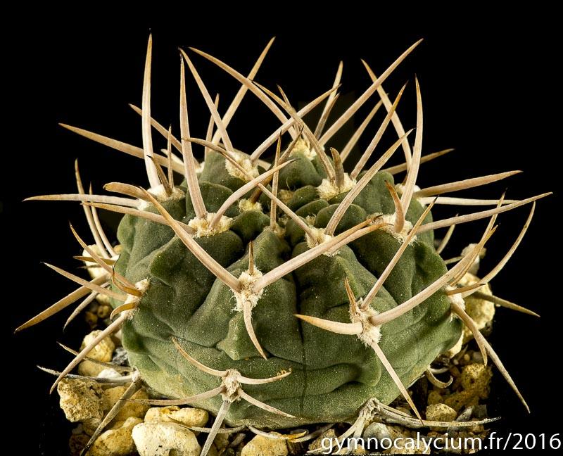 Gymnocalycium catamarcense ssp acinacispinum 87-45/1566,