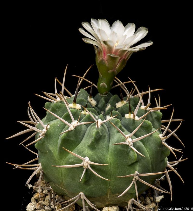 Gymnocalycium pugionacanthum (catamarcense fma ensispinum OF 27-80. Même sujet à 10 ans.