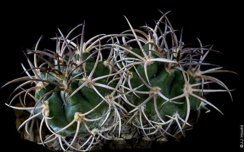 Gymnocalycium catamarcense fma montanum P 73b