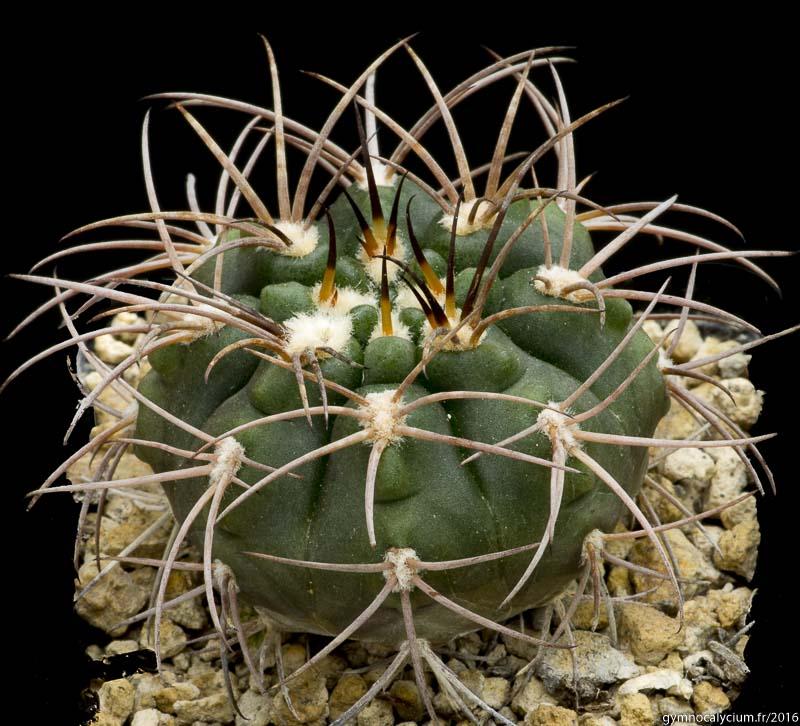 Gymnocalycium catamarcense ssp schmidianum P 218. Même sujet à 9 ans.